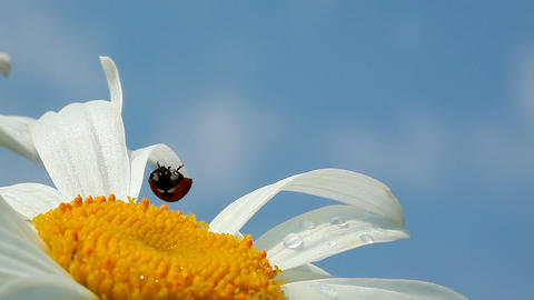Ladybird on chamomile flower Footage