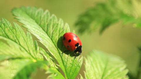 Ladybird fuss on green leaf and then run away Footage