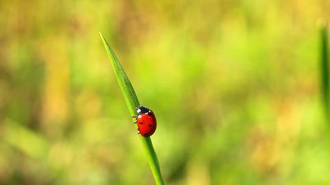 ladybird Stock Video Footage