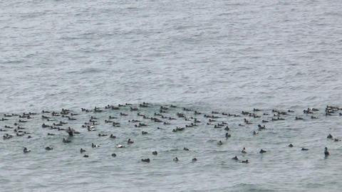 seabirds riding on ocean waves medium shot taken i Stock Video Footage