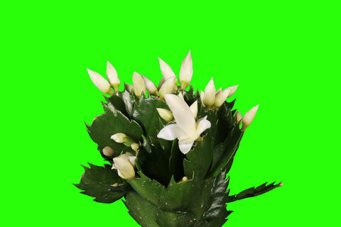 4K. Epiphytic cactus. White schlumbergera flower b Stock Video Footage