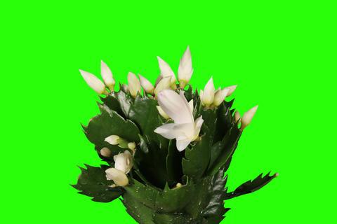 4K. Epiphytic cactus. White schlumbergera flower b Stock Video Footage