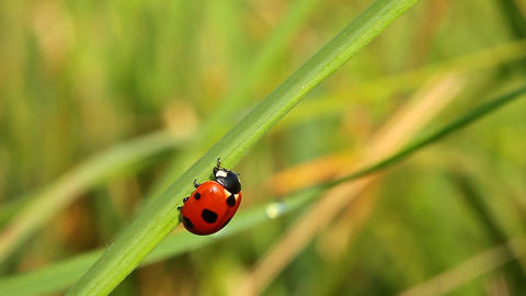 Ladybug on green grass. Close-up Stock Video Footage