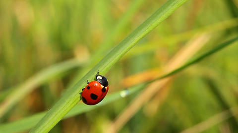 Ladybug on green grass. Close-up Footage