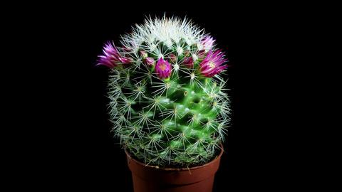 Time-lapse Opening pink Mammillaria (Mammillaria b Stock Video Footage
