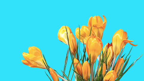 Growth of yellow crocuses flower buds ALPHA matte Footage