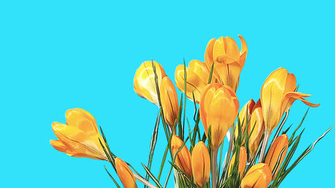 Growth of yellow crocuses flower buds ALPHA matte Stock Video Footage