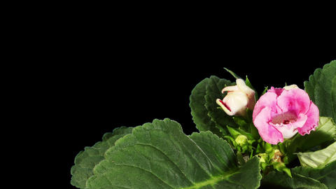 Growth of Gloxinia flower buds ALPHA matte, FULL H Stock Video Footage