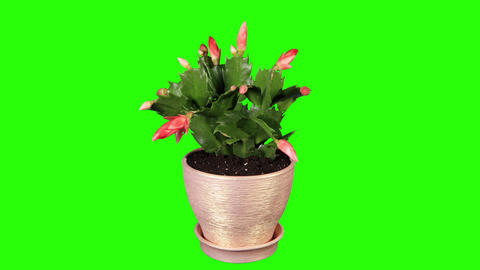 Epiphytic cactus. Red schlumbergera flower buds gr Stock Video Footage