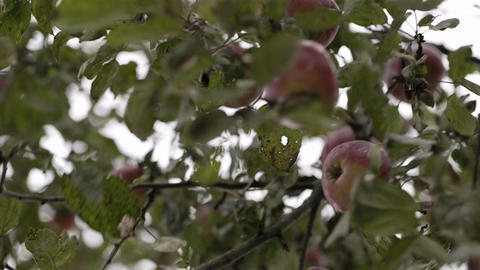 Gathering fresh apples Stock Video Footage
