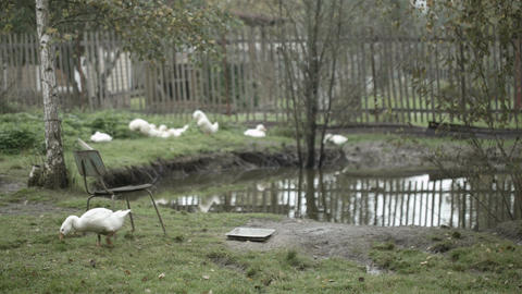 Domestic ducks and geese Stock Video Footage