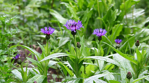 Blue cornflowers on a green meadow in bloom Stock Video Footage