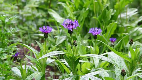 Blue cornflowers on a green meadow in bloom Stock Video Footage