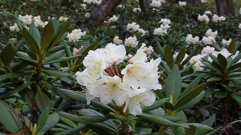 Caucasian rhododendron blooms in the woods Footage