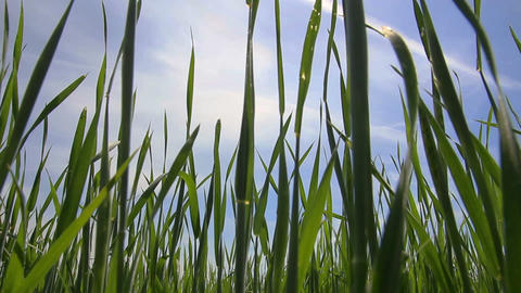 green grass close-up - dolly shot Stock Video Footage