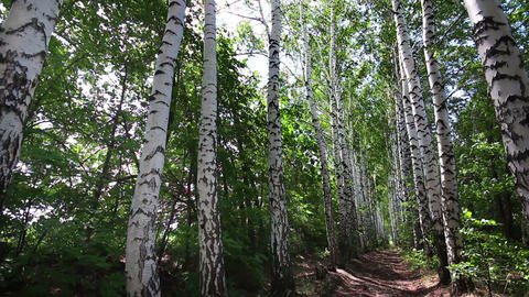 summer birch woods alley in Russia - dolly shot Footage