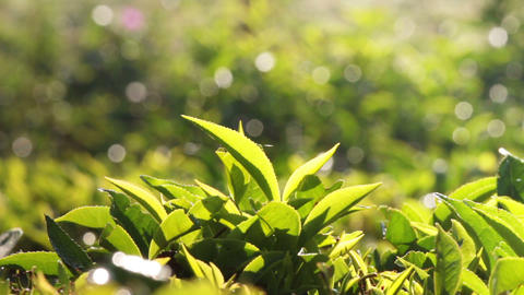 tea plants close-up in Munnar Kerala India Footage