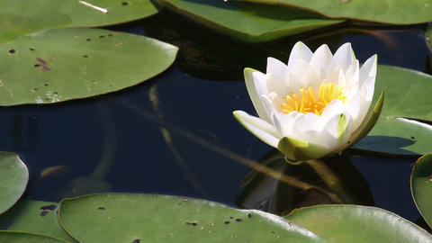 water-lily flower and leaves close-up on pond Footage