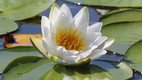 water-lily flower and leaves close-up on pond Stock Video Footage