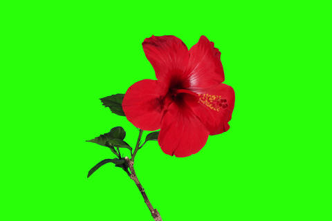 4K. Blooming red Hibiscus flower buds green screen Footage