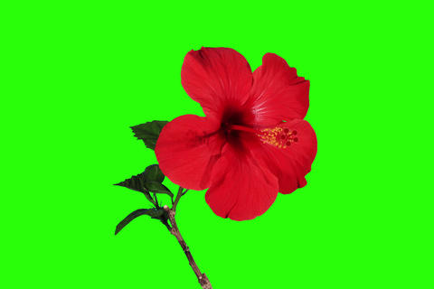 4K. Blooming red Hibiscus flower buds green screen Stock Video Footage