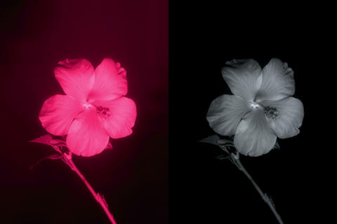 4K. Flower in infrared light: Blooming red Hibiscu Stock Video Footage