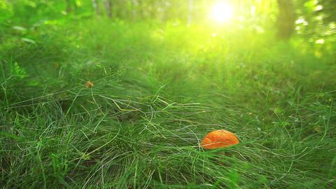 mushroom in green grass Footage