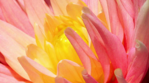 petals of a flower - macro Stock Video Footage