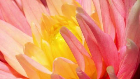 petals of a flower - macro Stock Video Footage