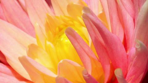 petals of a flower - macro Footage