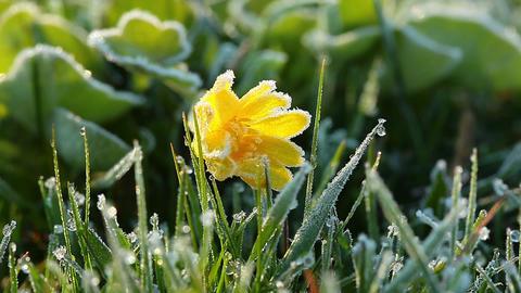 frozen spring flower Stock Video Footage