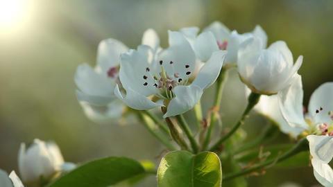 flowering tree - macro Stock Video Footage