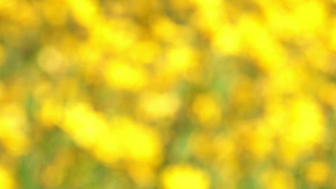 field of blooming sunflowers - no focus Footage