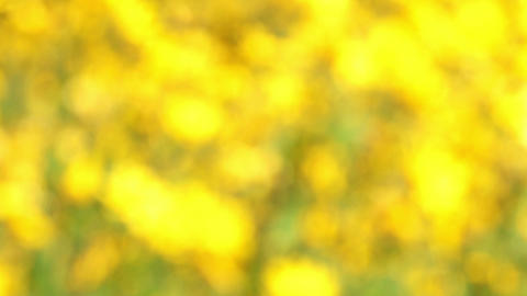 field of blooming sunflowers - no focus Stock Video Footage