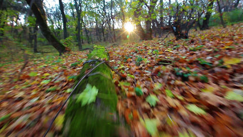 A Walk Is In The Autumn Forest stock footage