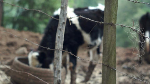 Barbed Wire Fence With Cows Stock Video Footage
