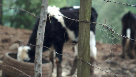 Barbed Wire Fence With Cows Footage