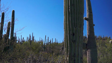 Saguaro Cactus Forest Dolly Footage