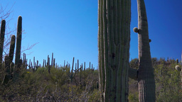 Saguaro Cactus Forest Dolly Stock Video Footage