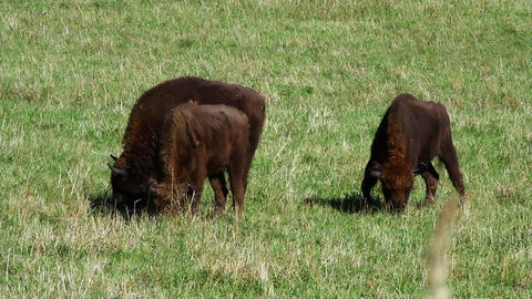 Bison In The Field stock footage