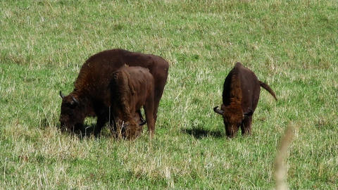 Bison in the field Stock Video Footage