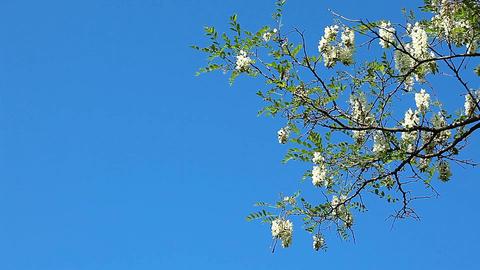 flowering acacia Stock Video Footage