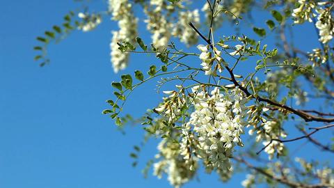 flowering acacia Footage