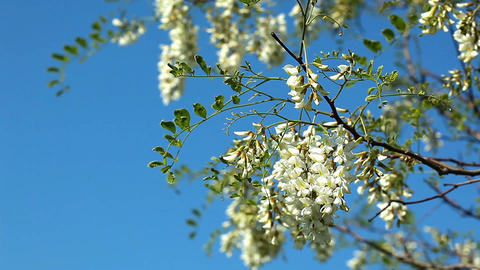 flowering acacia Stock Video Footage