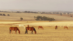 Team of horses grazing in a paddock in the Austral Stock Video Footage
