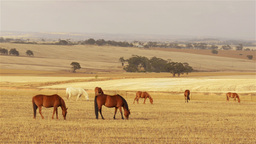 Team of horses grazing in a paddock in the Austral Footage