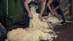 shearers shearing sheep on an australian farm Stock Video Footage