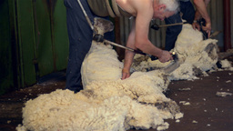 shearers shearing sheep on an australian farm Footage