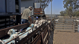 Spraying Lousicide On Freshly Shorn Sheep Stock Video Footage