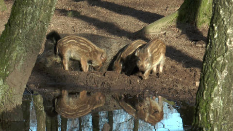 wild piglets digging in mud Stock Video Footage